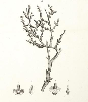 Image of the herb caroxylon