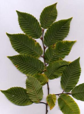 Изображение на билката carpinus