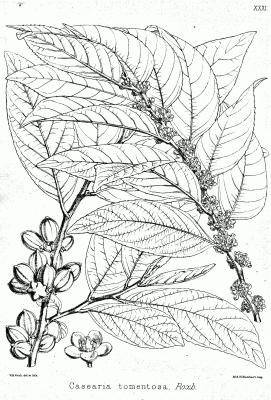 Изображение травы casearia