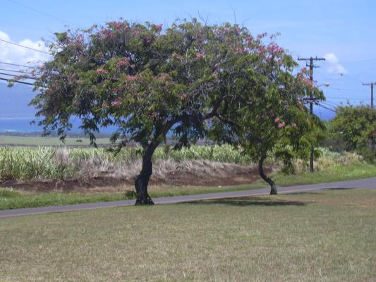 Obrázek byliny cassia
