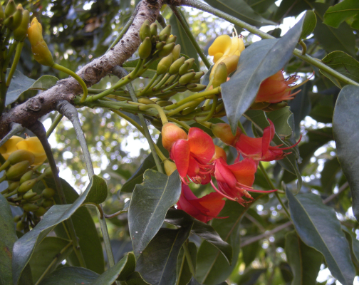 Bild av örten castanospermum