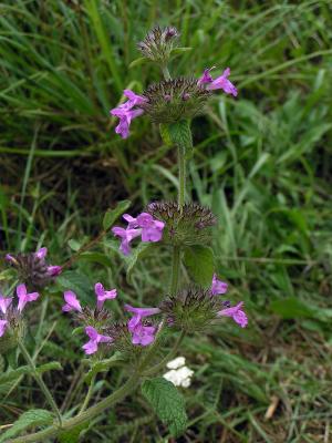 صورة عشب clinopodium