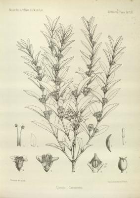 Image of the herb cloezia