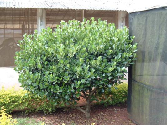 Slika biljke clusia