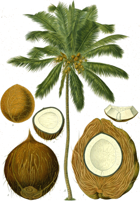 Image of the herb cocos
