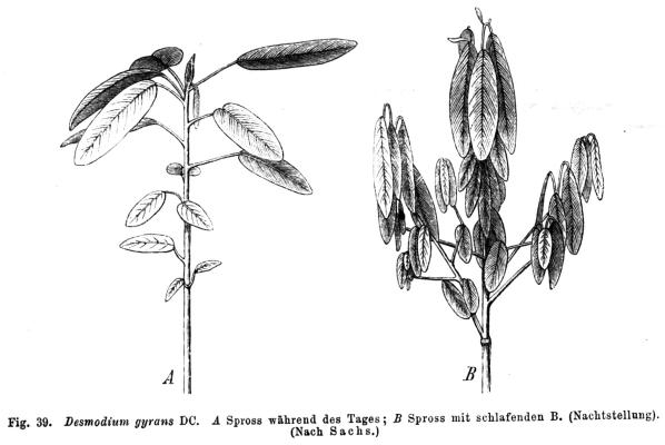 Image of the herb codariocalyx