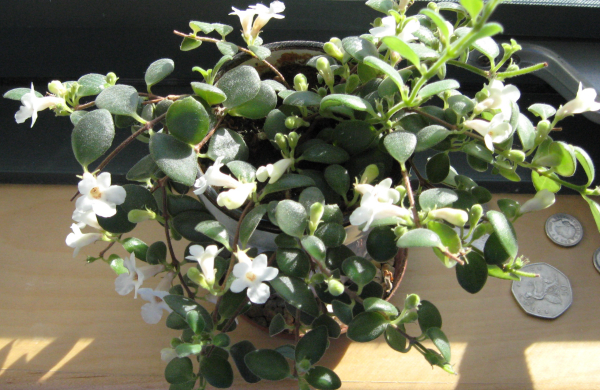 Image of the herb codonanthe